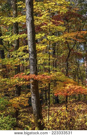 Bright colorful Fall foliage of Jenny Jump State Forest in New Jersey.