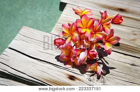 Tricolour frangipanis beside a swimming pool that is a picture of Summer