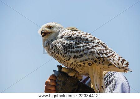 Nyctea scandiaca - Bubo scandiacus - Snow white owl on the falconer's glove. poster
