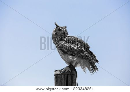 Bubo bubo - Real owl over a wooden pole.