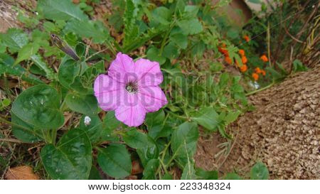 A light purple petunia surrounded by greenery