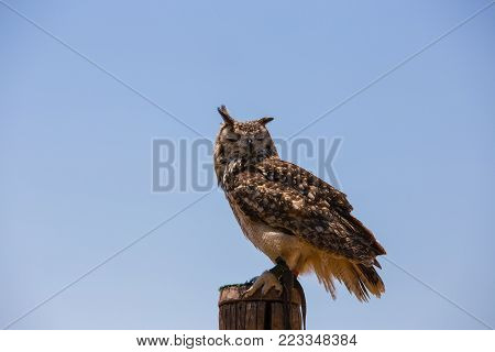 Bubo bubo - Real owl over a wooden pole.With closed eyes.