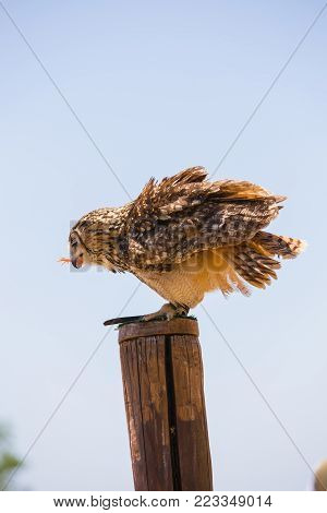 Bubo bubo - Real owl over a wooden pole while eating a chick.