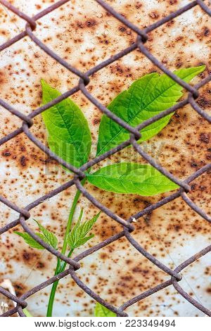 Green branch of a plant on a background of rusty sheet metal and mesh. Survival of plants in the environment.