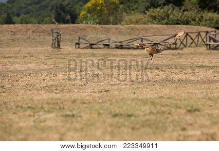 Bubo bubo - Real owl in flight.