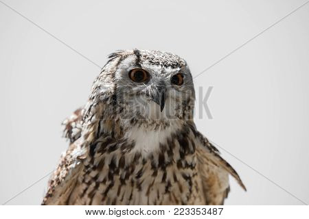 Bubo bubo - Real owl front view.