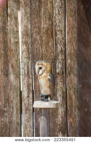 Tyto alba-Barn owl over a wooden pole.