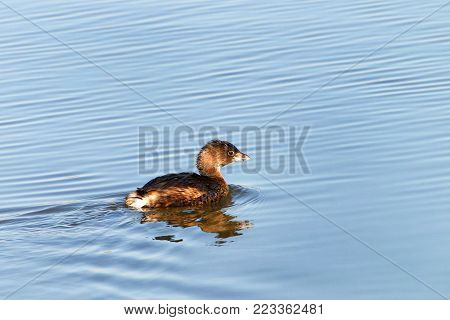 Pied Billed Grebe swimming in calm water. The pied-billed grebe is primarily found in ponds throughout the Americas