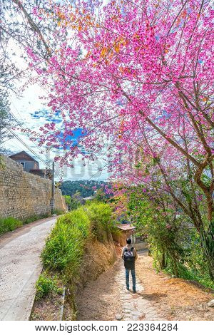 Da Lat, Vietnam - January 14th, 2018: The man returns home on a dirt road with cherry blooming in front of the yard as a joy to return to homeland for spring with his family in plateau Da Lat, Vietnam