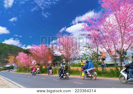 Da Lat, Vietnam - January 13, 2018: Tourists enjoy spring inside cherry tree flamboyance in morning sunshine, all created beauty playful and is typical highlands when spring arrives in Da Lat, Vietnam