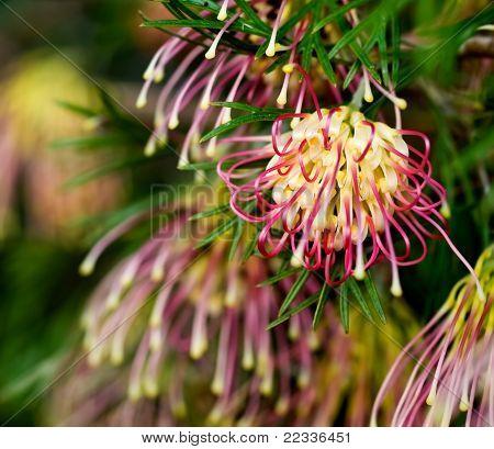 Grevillea Winpara Gem Australian Native Flower