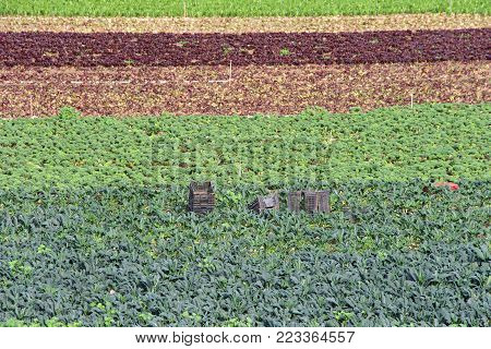 Farm land with vegetables growing in rows. Raised bed gardening, has increased yields from small plots of soil without the need for commercial, energy-intensive fertilizers