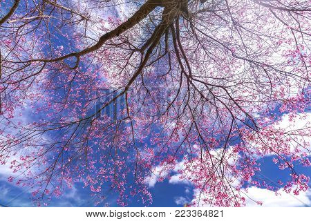 Cherry blossom tree in the dramatic sky like a curtain the spring. This flower was bred from training apricot and cherry for characteristics in highlands Da lat, Vietnam