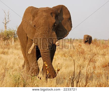 A very old African Elephant with his companion. poster