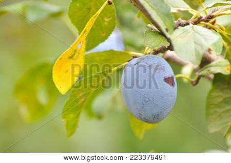 Ripe plums on branch. Plum plantation with a ripe plums on tree