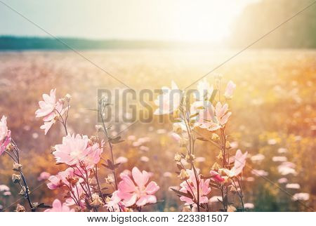 Summer landscape with wild mallow. Flowering meadow in the sunlight.