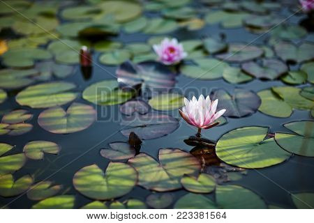 Water lilies and lilies on water close up in open air. Picturesque photo a part of pond with flower in focus. Calm water smooth in windless weather. Tranquil vegetation in natural environment