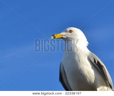Ring-billed Sea Gull