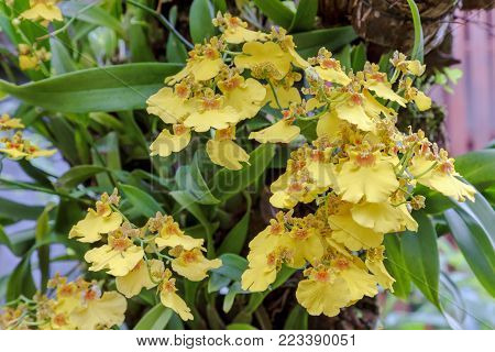 Orchid flower in orchid garden at winter or spring day for postcard beauty and agriculture idea concept design. Oncidium goldiana orchid. Golden shower orchids.