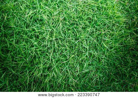Green grass texture or green grass background. green grass for golf course, soccer field or sports background concept design. Natural green grass.