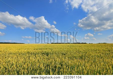 Agriculture field. Landscape with ears of wheat in the bright summer sun and forest line on the horizon.