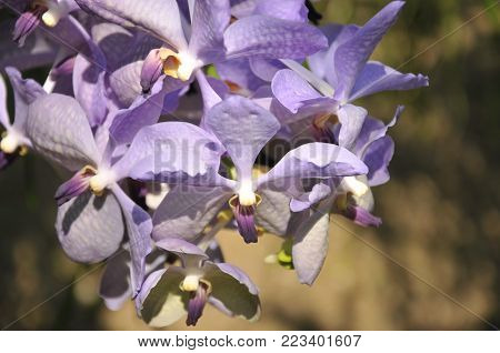 violet orchid in Orchid farm, process and take care about orchid in Thailand