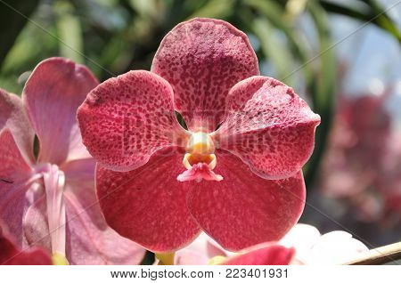 pink orchid in Orchid farm, process and take care about orchid in Thailand