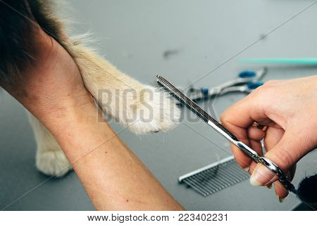 female hand grooming dog fur on paws, animal foot care cuting fur, close-up