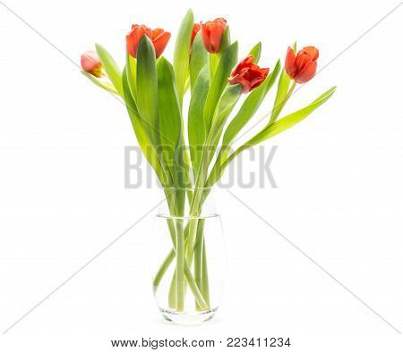 Red tulips in a glass vase isolated on white background spring flowers fresh cut