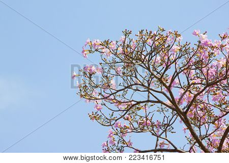 Top of Tabebuia rosea flower on tree with blue sky for background. Beautiful in the winter in Thailand.