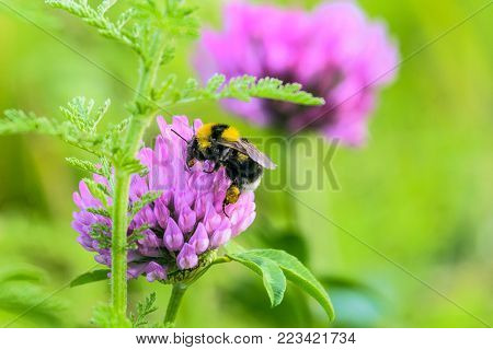 Bumblebee with a basket of pollen pollinates a purple clover flower. Meadow Bombus on a green plants background. Selective focus.
