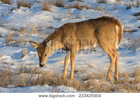 Wild Mule Deer Doe In the Colorado Great Outdoors in Winter