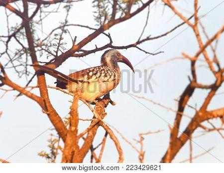 African Hornbill  bird, in the natural African habitat, Bucerotidae