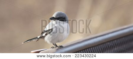 A Loggerhead Shrike Perched on the Back of a Wildlife Area Bench