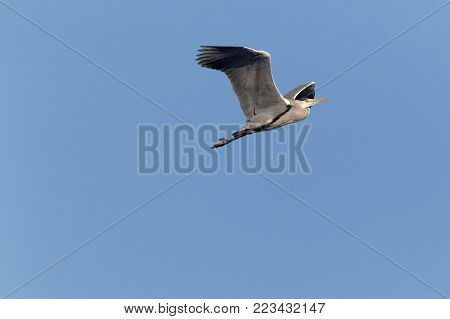 Grey Heron Ukraine 2018 Grey Heron flying on blue sky background, Grey Heron in flight. grey heron in natural habitat (ardea cinerea).