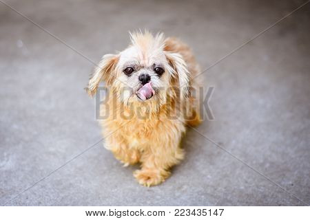Old rescue dog with a Mohawk from medical condition, tan cute little dog