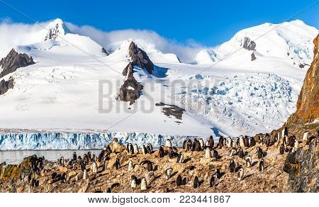 Rocky coastline with flock of gentoo pengins and glacier with icebergs in the background at Half Moon island, Antarctic peninsula