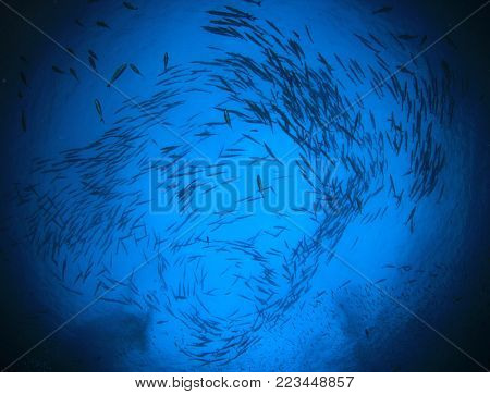 Barracuda fish underwater in blue ocean