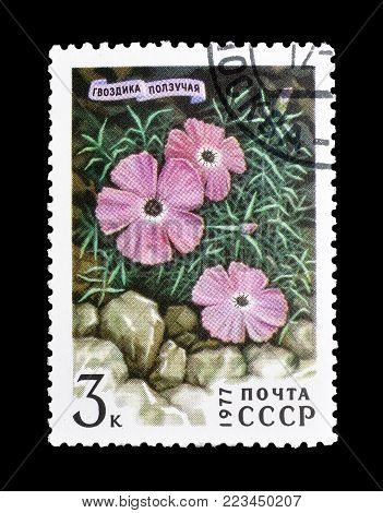 SOVIET UNION - CIRCA 1977 : Cancelled postage stamp printed by Soviet Union, that shows Dianthus repens.