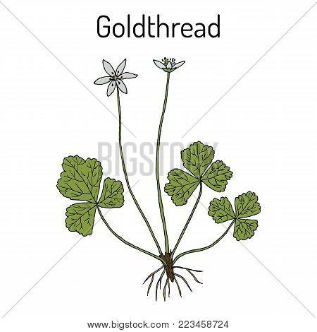 Goldthread Coptis chinensis , or canker root, medicinal plant. Hand drawn botanical vector illustration