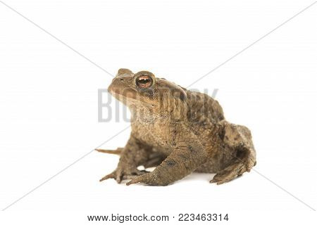 Side view of a toad on a white background