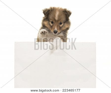 Cute shetland sheepdog sheltie puppy looking at the camera holding a white board for copy space on a white background