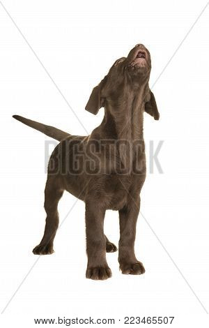 Chocolate labrador retriever puppy standing and looking up howling isolated on a white background