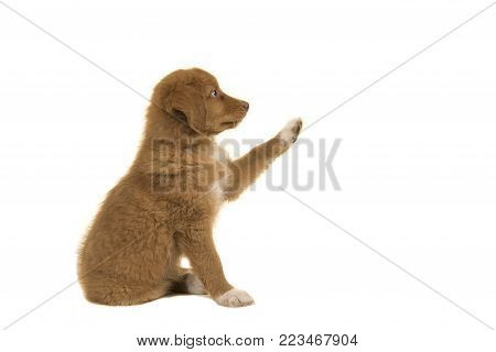 Cute nova scotia duck tolling retriever puppy seen from the side giving a high five isolated on a white background