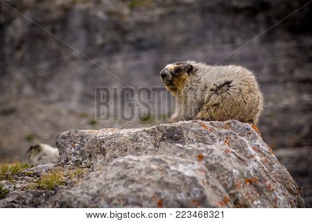 Closeup of a Hoary Marmot, in the alpine