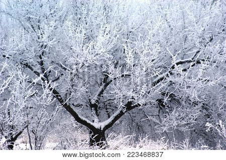 The luxurious crown of tree creates surprizing patterns, white snow draws the refined laces of casebound branches