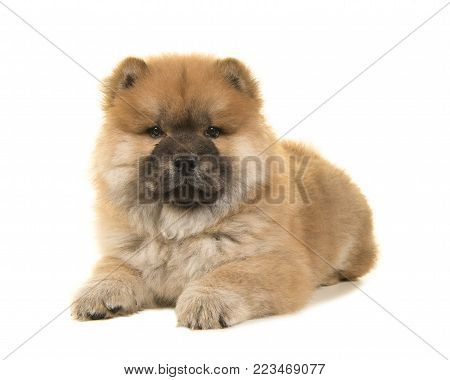 Chow chow puppy lying down looking at the camera isolated on a white background
