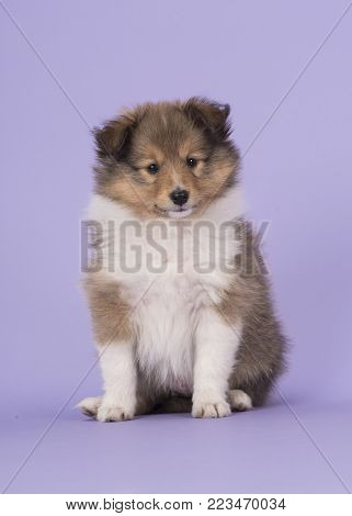 Cute sitting shetland sheepdog puppy dog on a purple lavender background looking at the camera