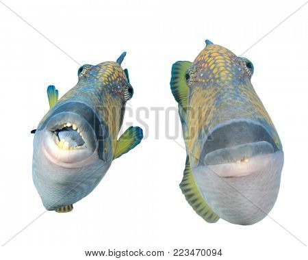 Titan Triggerfish tropical reef fish isolated on white background