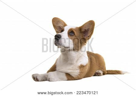 Welsh corgi puppy dog lying down on the floor looking up isolated on a white background